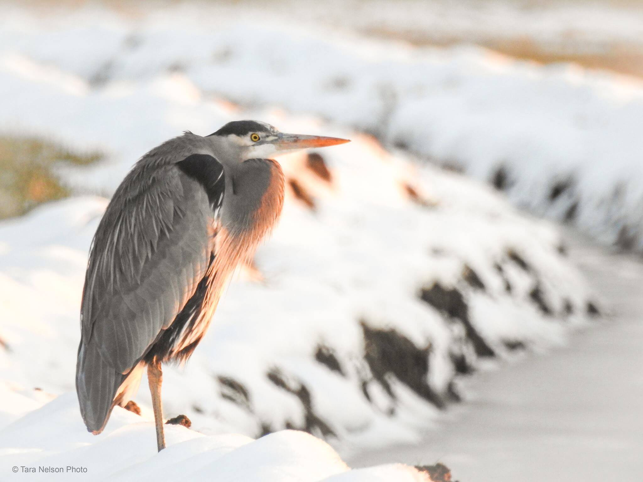 Great Blue Heron by Tara Nelson